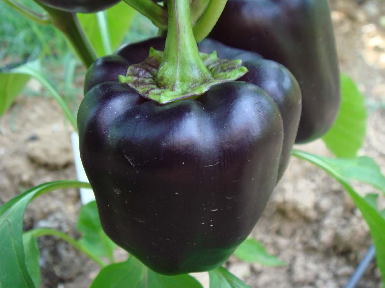 purple beauty pepper schwarze paprika sch rfe 0 10 st michis tomatensamen. Black Bedroom Furniture Sets. Home Design Ideas