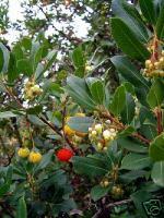 westlicher erdbeerbaum mediterran winterbl hend immergr n. Black Bedroom Furniture Sets. Home Design Ideas
