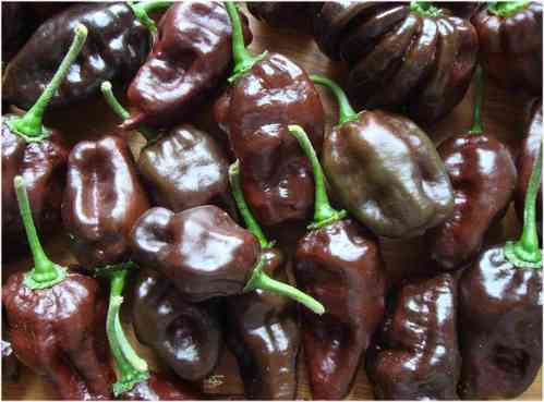Habanero chocolate pepper* Chili braun hot* 10 Samen