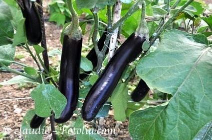 aubergine black beauty schwarze sorte hoher ertrag 10 samen. Black Bedroom Furniture Sets. Home Design Ideas