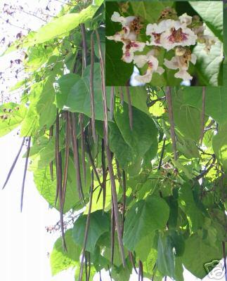 trompetenbaum catalpa orchideenart bl te frosthart. Black Bedroom Furniture Sets. Home Design Ideas