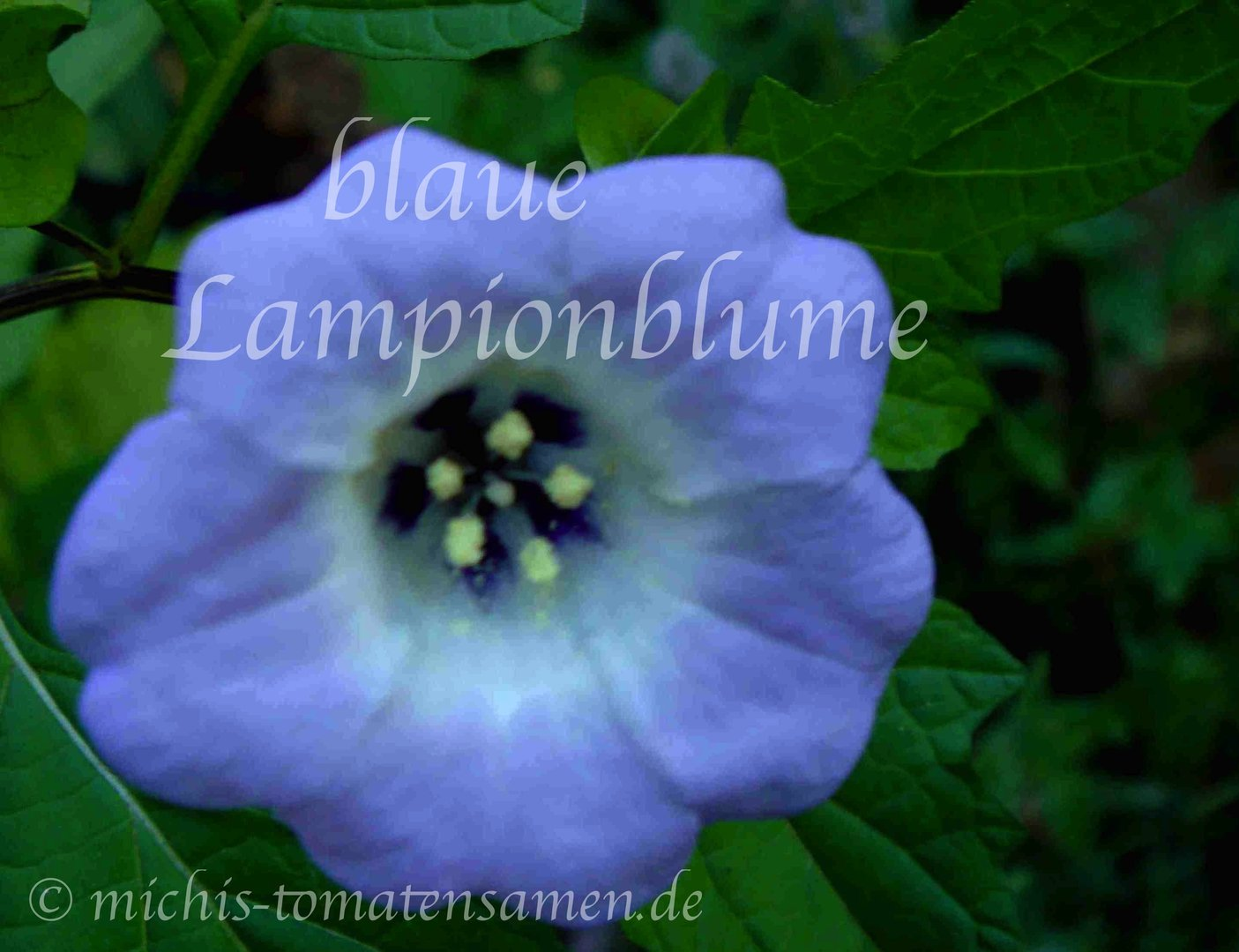 blaue lampionblume nicandra physalodes insekten weg 15. Black Bedroom Furniture Sets. Home Design Ideas