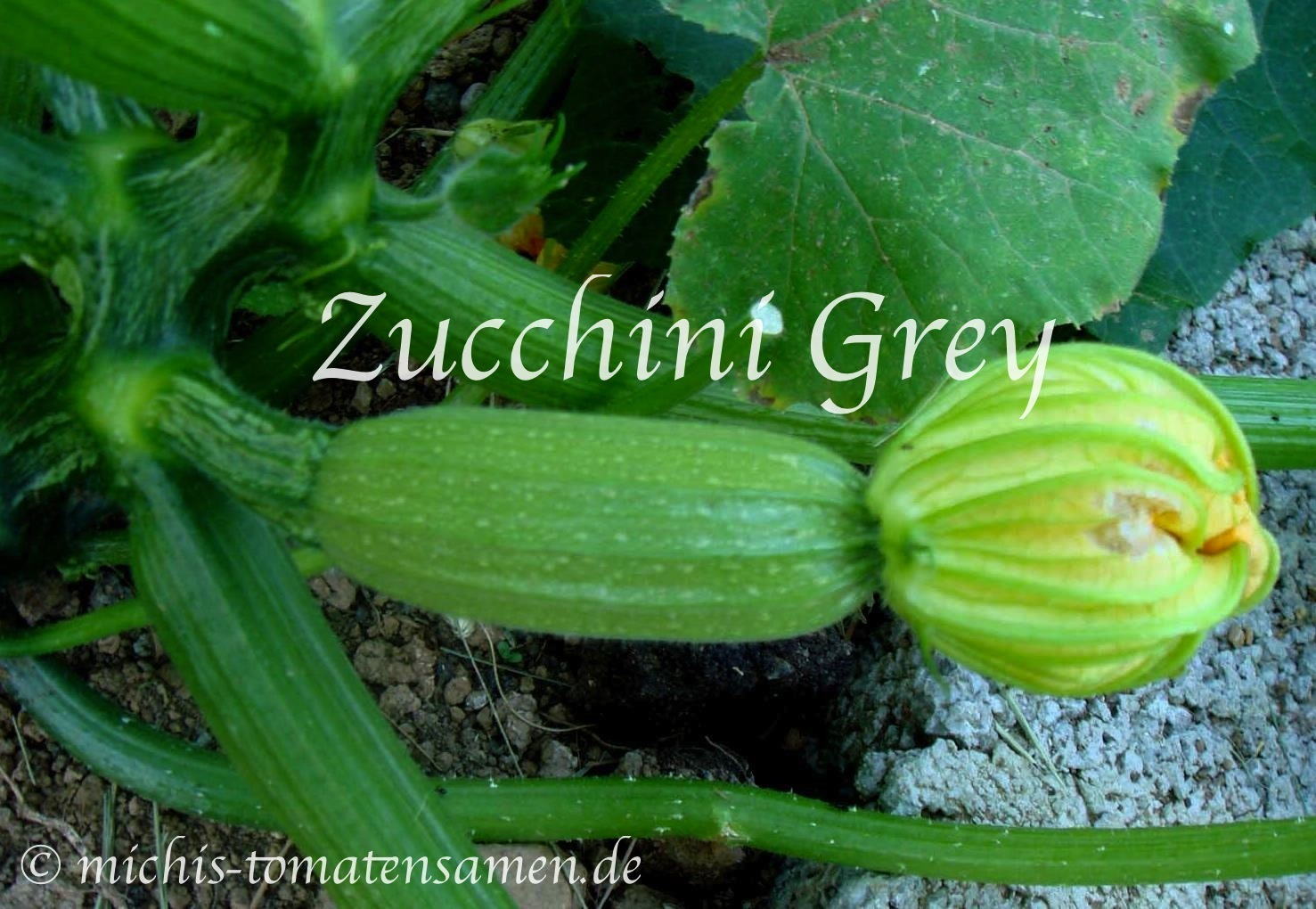 zucchini gray gr ne zucchini ertragreich aromatisch 5. Black Bedroom Furniture Sets. Home Design Ideas