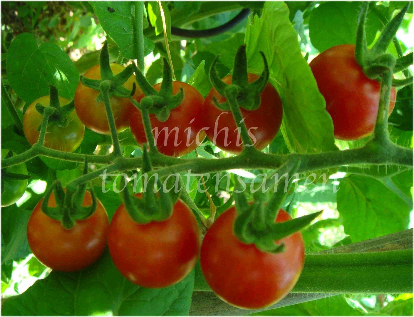 Tomaten Sorte groß gewachsen /'Riesentraube/' x3