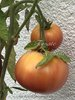 Tomate Russian Rose * Heirloomsorte aus Russland * 10 Samen